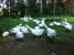 продажа домашней птицы